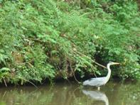 Heron  - frequent visitors
